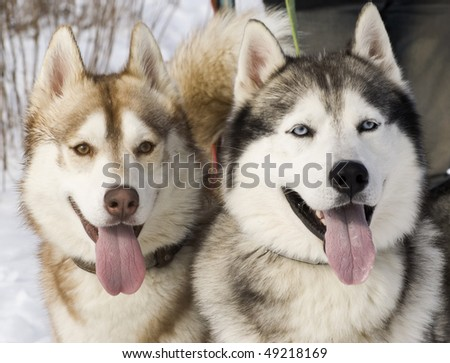 Picture of two siberian husky in a steppe landscape