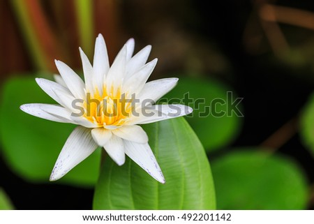 Yellow lotus blossoms or water lily flowers blooming on pond #492201142