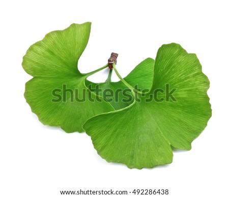 Ginkgo biloba leaves isolated on white background #492286438