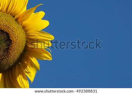 Yellow sunflower against blue sky.  #492388831