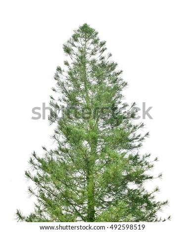 Pine tree isolated on white background #492598519