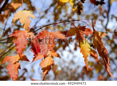 Red autumn leaves and blue sky #492949471