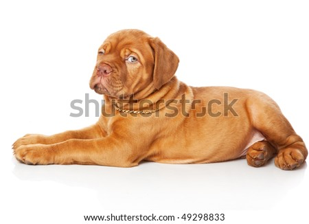 Puppy of Dogue de Bordeaux (French mastiff). Isolated on white background #49298833