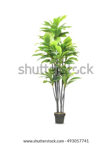 Big dracaena palm in a pot isolated over white #493057741