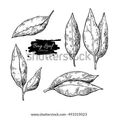 Bay leaf vector hand drawn illustration set. Isolated spice object. Engraved style seasoning laurel. Detailed organic product sketch. Cooking flavor ingredient. Great for label, sign, icon Royalty-Free Stock Photo #493319023