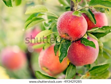 Apple tree Royalty-Free Stock Photo #493429285