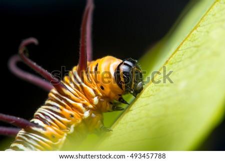 Striped Blue Crow (Euploea mulciber) Caterpillar climbing a leaf #493457788
