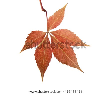 autumn leaves of grape isolated on white background closeup #493458496