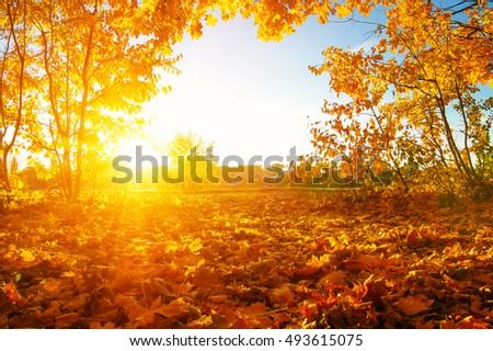 autumn trees on sun in park #493615075