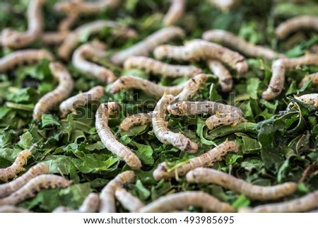 silk worms eating mulberry green leaf. #493985695