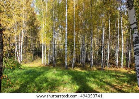 Tall slender white birch trunks in a golden dress. Originally Russian autumn landscape watercolor illustration. photo manipulation concept #494053741