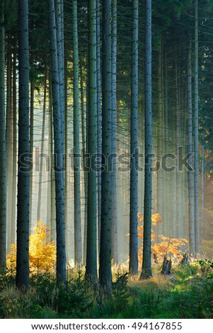 Autumn, Forest of Spruce Trees Illuminated by Sunbeams through Fog, Leafs Changing Colour #494167855