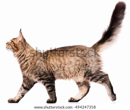 Portrait of domestic black tabby Maine Coon kitten - 5 months old. Cute young cat isolated on white background. Side view of a curious young striped kitty walking. #494247358