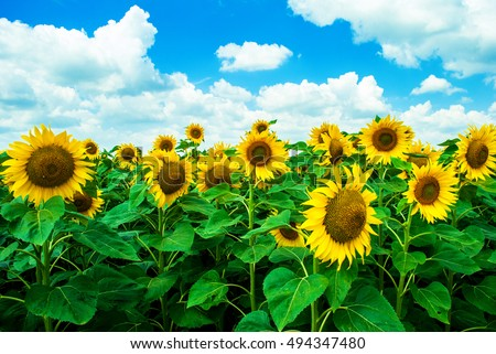 Sunflower against the blue cloudy sky on a hot summer day. Sunflower in garden. Sunflower in nature. Sunflower field. Yellow sunflowers. Sunflower seed. Agriculture theme.