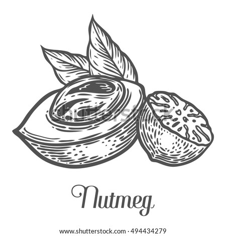 Nutmeg nut seed vector. Isolated on white background. Nutmeg butter food ingredient. Engraved hand drawn illustration in retro vintage style. Organic Food, cosmetics, treatment component Royalty-Free Stock Photo #494434279