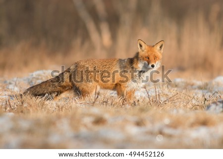 Mammals - European Red Fox (Vulpes vulpes) #494452126