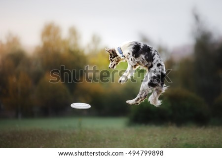 Dog catching flying disk  in jump, pet playing outdoors in a park. sporting event, achievement in sport Royalty-Free Stock Photo #494799898