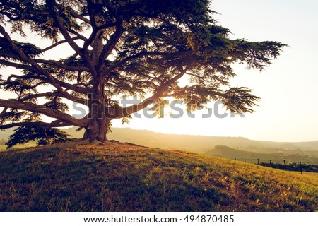 Old Lebanon Cedar Royalty-Free Stock Photo #494870485
