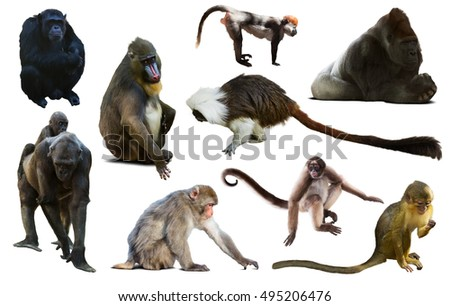 many different monkeys and other primates isolated on white background  #495206476