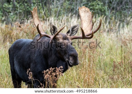 Moose - Alces alces, male bull grazing in the grass and vegetation. Making eye contact.