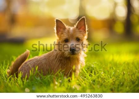 Norwich Terrier puppy sitting in the grass in summer outdoor background #495263830