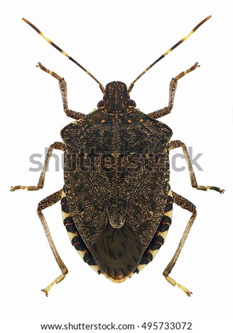 Brown marmorated stink bug Halyomorpha halys, an invasive species from Asia