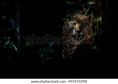 American jaguar female in the darkness of a brazilian jungle, panthera onca, wild brasil, brasilian wildlife, pantanal, green jungle, big cats, dark background, low key