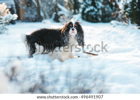 funny cavalier king charles spaniel dog covered with snow playing on the walk in winter garden. Dogs having fun outdoor. #496491907
