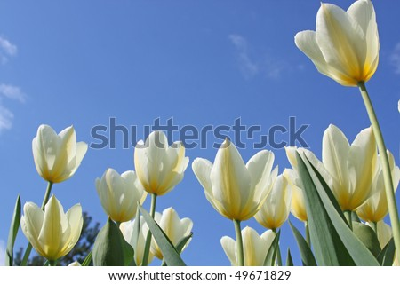 Spring flowers - white tulips on the background of sky. Purissima variety #49671829