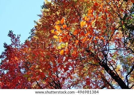 Colorful red and orange leaves during foliage season on the East Coast #496981384
