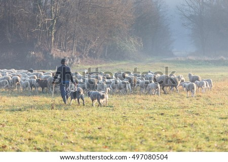 Sheep grazing in winter time #497080504