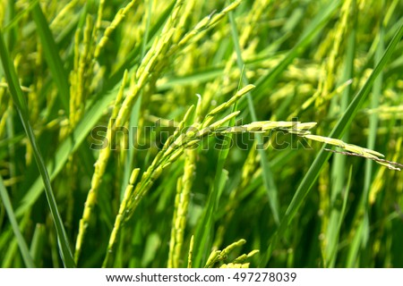 Close up flowering paddy field in countryside of thailand. agriculture concept #497278039
