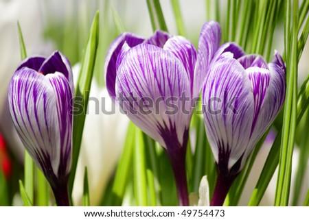Flower Crocus #49754473