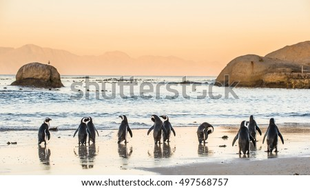 African penguins on the sandy coast in sunset. Red sky. African penguin ( Spheniscus demersus) also known as the jackass penguin and black-footed penguin. Boulders colony. Cape Town. South Africa Royalty-Free Stock Photo #497568757