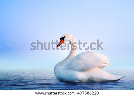White swan in the foggy lake at the dawn. Morning lights. Romantic background. Beautiful swan. Cygnus. Romance of white swan with clear beautiful landscape. #497586220