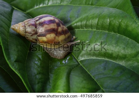 Concept work of the team leaders, Helix pomatia, common names the Burgundy snail, Roman snail, edible snail or escargot #497685859