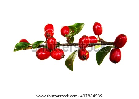 Autumnal colors of Cotoneaster leaves and berries isolated against white #497864539