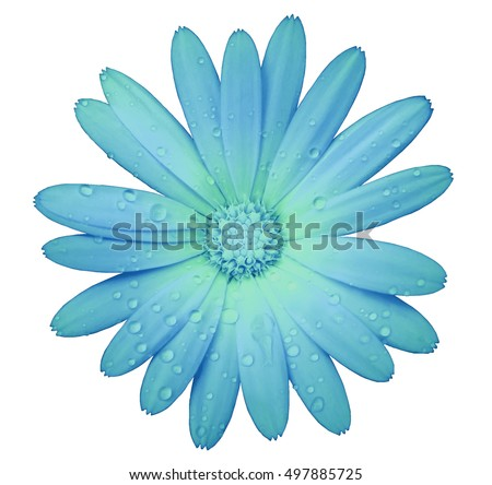 turquoise flower with clipping path isolated on white  background. garden flower calendula. Closeup.  water drops. Nature. #497885725
