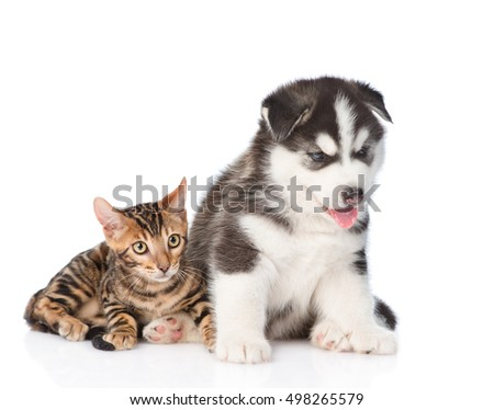 Bengal kitten and Siberian Husky puppy together. isolated on white background #498265579