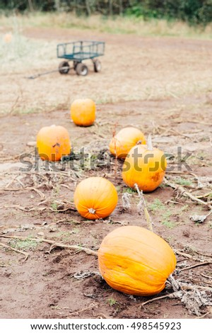 Pumpkins in a pumpkin patch ready for Halloween and Fall harvest #498545923
