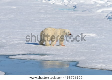 Polar bear on the pack ice north of Spitsbergen #498726922