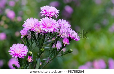 Pink Small chrysanthemum background, natural background #498788254