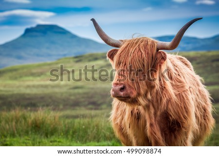 Furry highland cow in Isle of Skye, Scotland #499098874