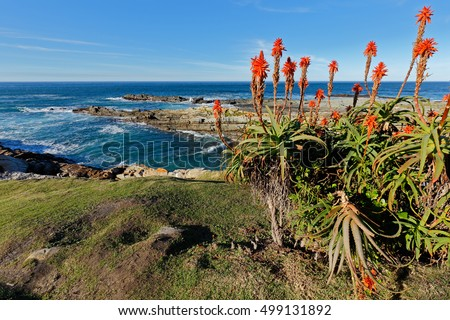 Scenic coastline with flowering aloe, Garden Route National Park, South Africa  Royalty-Free Stock Photo #499131892