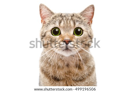 Portrait of a surprised cat Scottish Straight, closeup, isolated on white background #499196506