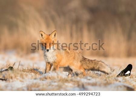 Mammals - Fox (Vulpes vulpes) #499294723