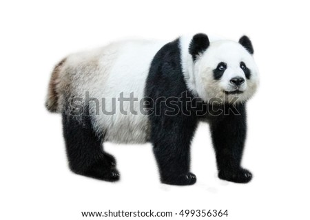 The Giant Panda, Ailuropoda melanoleuca, also known as panda bear, is a bear native to south central China. Panda standing, side view, isolated on white background.