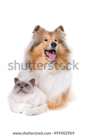 Scotch Collie and a Cat in front of a white background #499402969