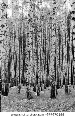 birch forest background, black and white photo #499470166