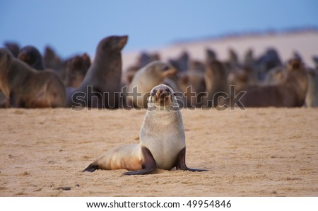 Group of sea lions basking in the sun on the beach in South Africa #49954846